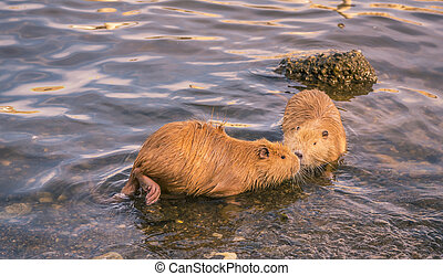 Two cute coypu kissing on water - Two funny river animals,...