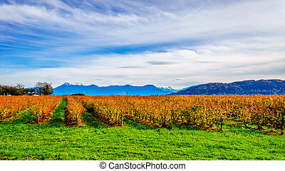 Fall Colors of straight Rows of Blueberry Plants in Farmer...