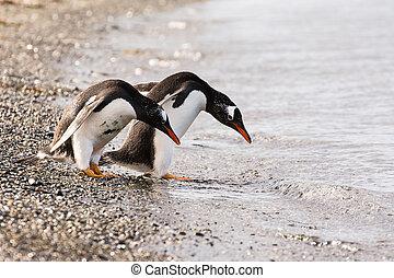 パプア, 恋人, 海岸, ペンギン