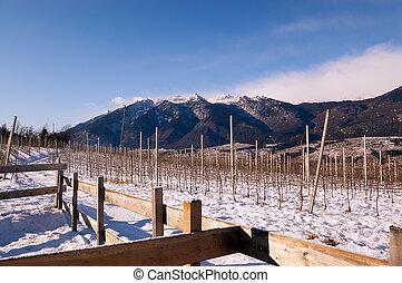 Vineyards in Winter - Val di Non Trentino - Vineyards in...