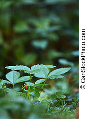 wild strawberry plant with fruit