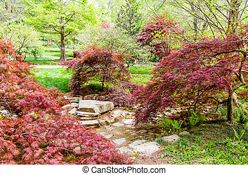 Lace Leaf Japanese Maples in Garden