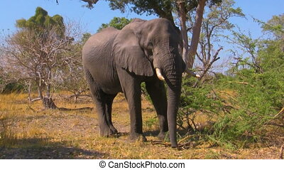 African elephant in the bush - African elephant playing with...
