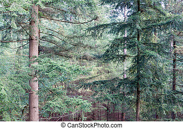 Forest of Dutch national park Veluwe with background of fir...