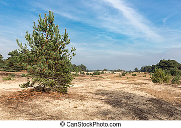 Sand drifts with trees at Dutch National Park Veluwe - Sand...