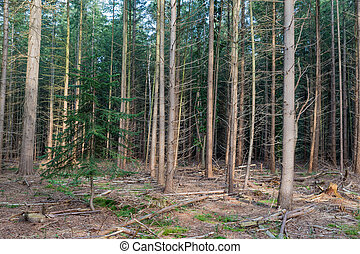 Forest of Dutch national park Veluwe with fir trees - Forest...