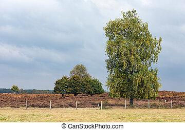 Dutch national park Veluwe with oak tree near heath - Dutch...