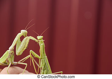 Mantis on a red background. Mating mantises. Mantis insect...