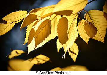 Autumn leaves yellow birch - The yellow leaves of yellow...