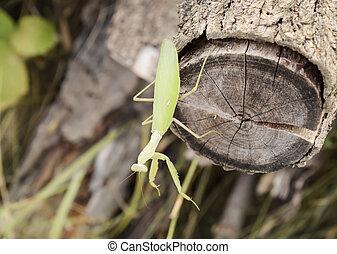 Mantis on a log acacia. Mantis looking at the camera. Mantis...
