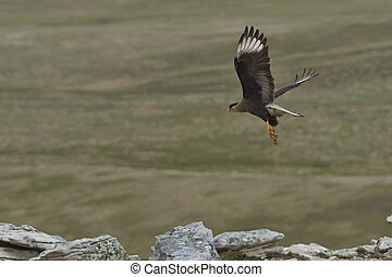 Southern Caracara (Caracara plancus) in flight over Carcass...