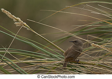 Cobb's Wren (Troglodytes cobbi) on tussock grass on Carcass...