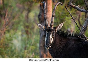 Starring Sable antelope bull. - Starring Sable antelope bull...