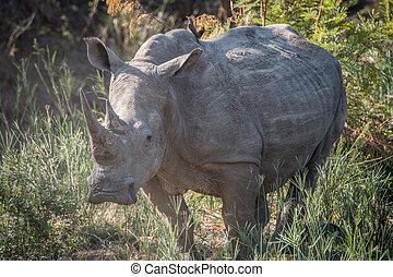 Starring White rhino. - Starring white rhino in the Kruger...