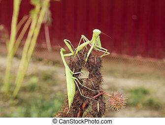 Mantis on the tong. Mating mantises. Mantis insect predator....
