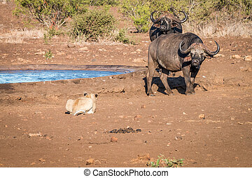 Lion starring at two Buffalos. - A Lion starring at two...