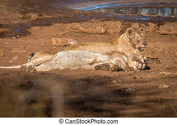 Two Lions laying in the dirt. - Two Lions laying in the dirt...