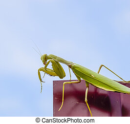 Praying mantis on a red fence. Predator insect mantis. -...