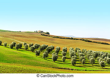 olive trees in a green hill in Tuscany