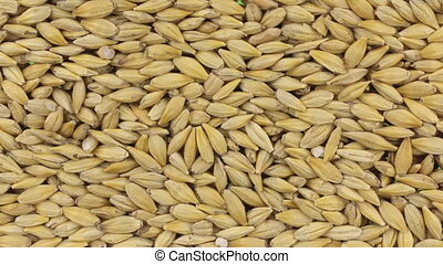 Horizontal panorama of grains barley, food background. View...