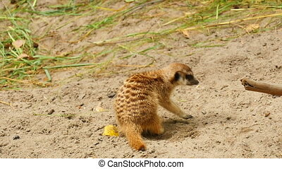 Meerkats digging in the sand