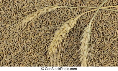 Rotation of the spikelets of wheat lying on the rye grains....