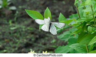 Aporia crataegi -Black-veined white butterfly-