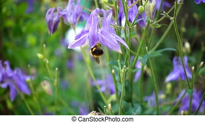 Bumblebee on aquilegia flower - Bumblebee on a blue...