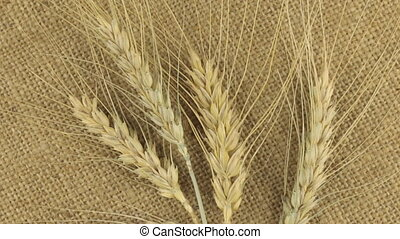 Rotation of the spikelets of wheat lying on sackcloth. View...