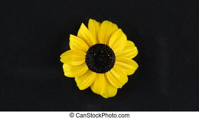 Slow rotation of a yellow camomile on a black background....