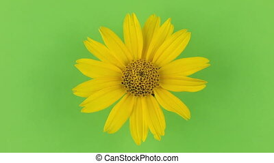 Slow rotation of a yellow camomile on a green background, keying.