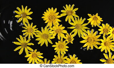 Zoom yellow camomile with dew drops in the water during...
