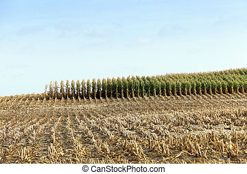 harvested mature corn - agricultural field, which collected...