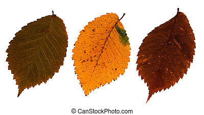 Dried leaves of Field Elm - Pressed and dried leaves of...