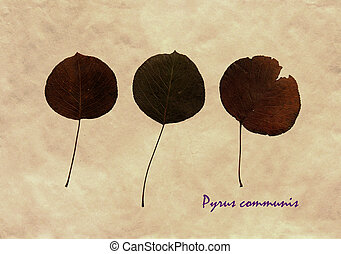 Herbarium of common pear - Herbarium from pressed and dried...