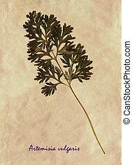 herbarium, común, Ajenjo