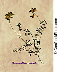 Herbarium of yellow lucerne - Herbarium from pressed and...