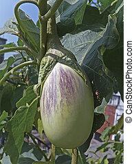 Brinjal, Eggplant, Solanum melongeana L.