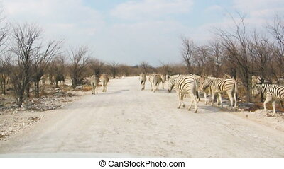 Zebras crossing dusty road in african national park - Zebras...