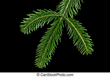 European silver fir branch from above over black - European...