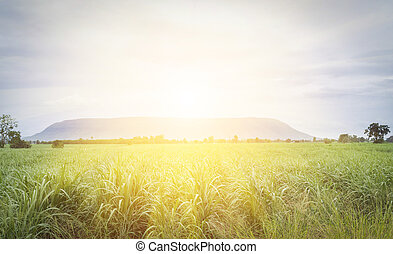 Sugarcane - Large fields of sugar cane, Sugarcane production...