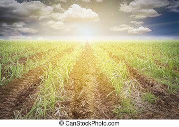 Sugarcane - Large fields of sugar cane, Sugarcane production...