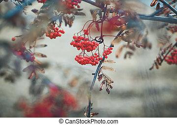 Autumn rowan brunch - Background with brunch of rowan