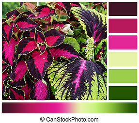 Coleus Plant. Palette With Complimentary Colour Swatches.
