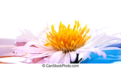 Bushy aster - Flower Bushy aster it is isolated on a white...