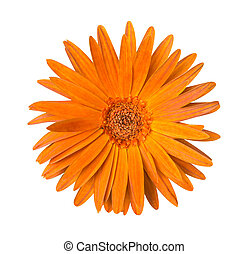 One orange Chrysanthemum Flower Isolated over White