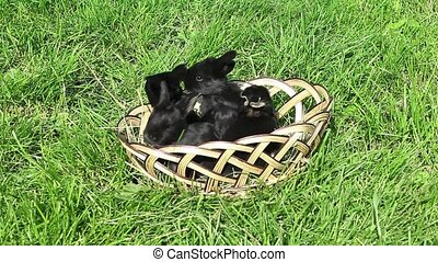 Small black rabbits running away from a wicker basket