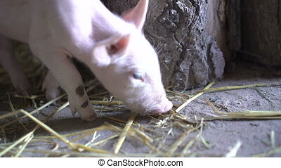 One little pig finding food. - One little pig finding food