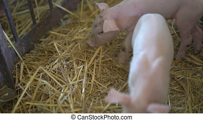 Little pigs resting on the straw in 4K.