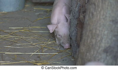 Little pig walking in the cage in full HD
